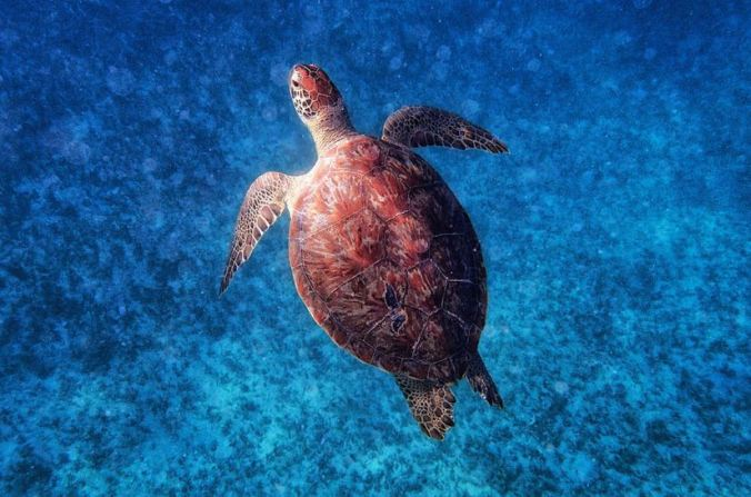Sea Turtle | A sea turtle near Tintamarre Island in the Caribbean Sea. | http://lars-lentz.pixels.com/featured/sea-turtle-lars-lentz.html