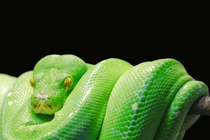 green-tree-python-543243-public-domain